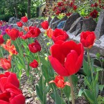 River rock rall with tulips